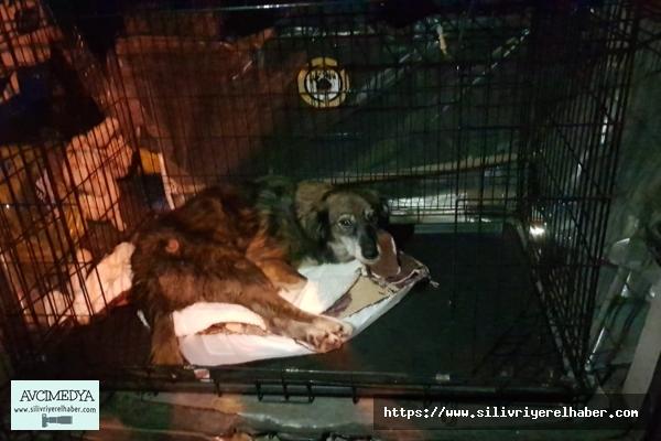 Kurşunların hedefi olan köpek tedavi için Ankara'ya sevk edildi