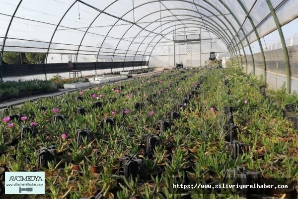 Silivri Belediyesi 15 bin adet atalık sebze fidesi üretti