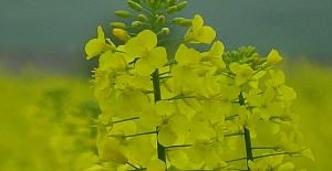 Silivri'de Kanolalar tarlaları renklendirdi