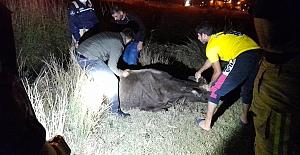 SİLİVRİ'de kanala düşen Büyükbaş'ı İtfaiye Ekipleri Kurtardı